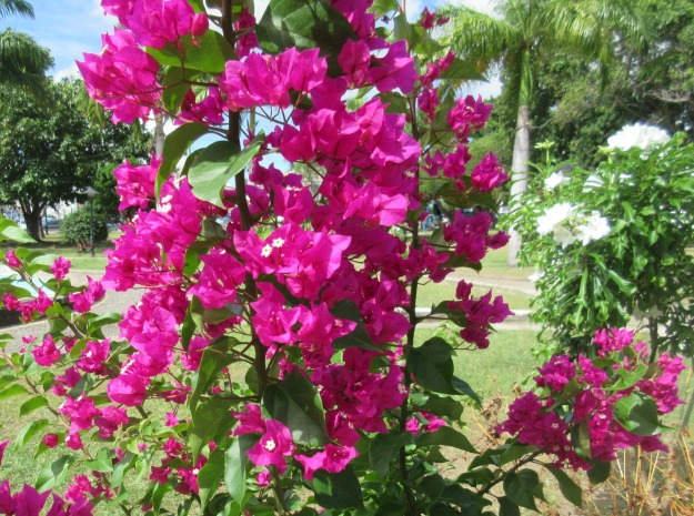 Bougainvillea St. Kitts